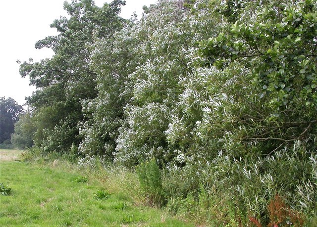 White willows by the river Line, Whatlington
