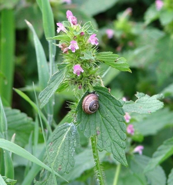 Common hemp nettle (Galeopsis tetrahit)