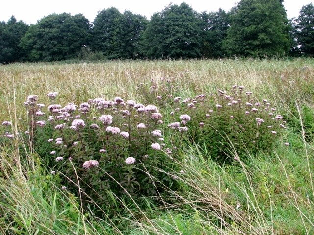 Hemp agrimony in late August