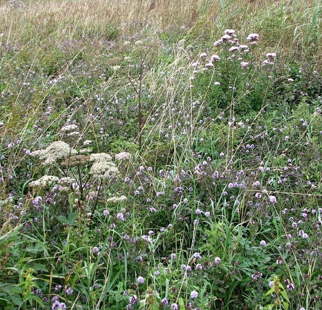 Water mint in the marsh meadow