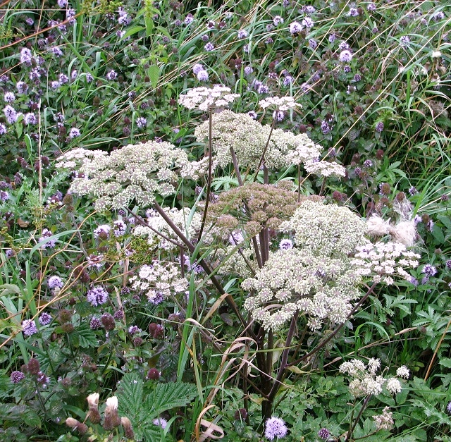 Water mint and Wild Angelica