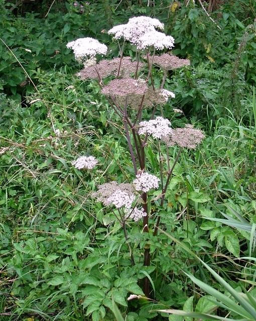 Wild Angelica (Angelica sylvestris)