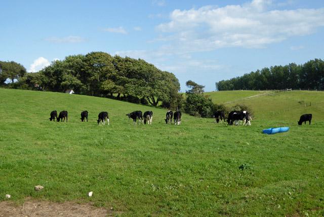 Cattle, Adgestone