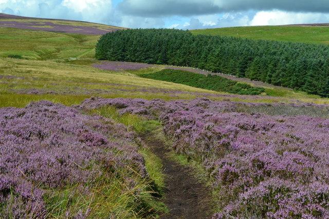 St Cuthbert's Way descending towards unnamed plantation