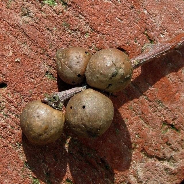 Oak galls (caused by Andricus grossulariae)