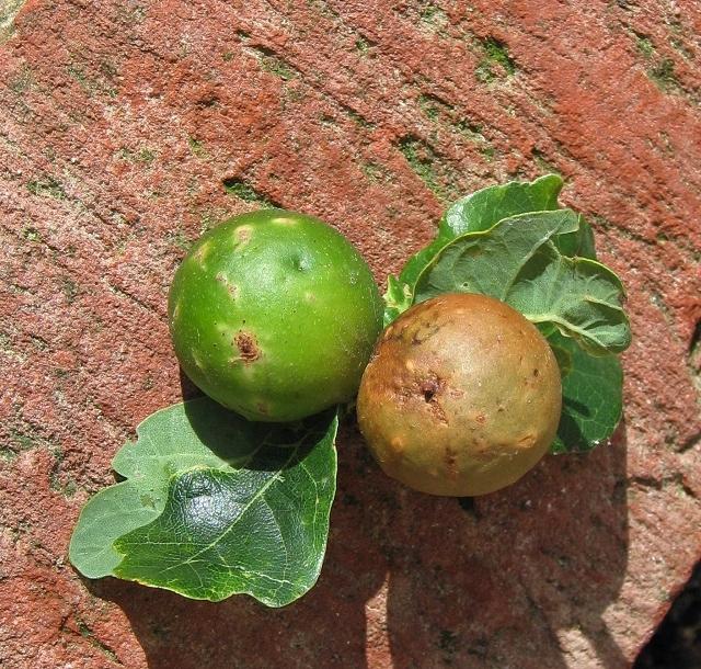 Oak marble galls