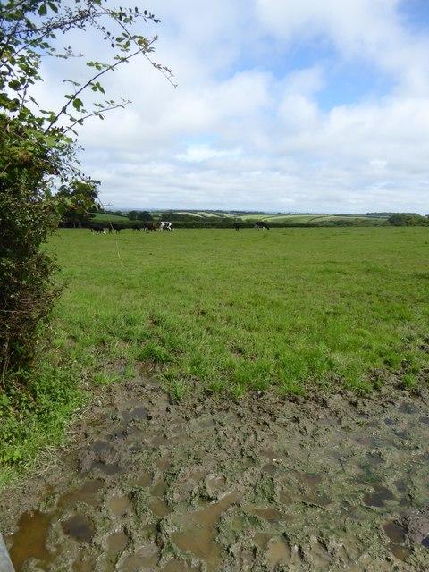 Cows grazing north of Ashbury