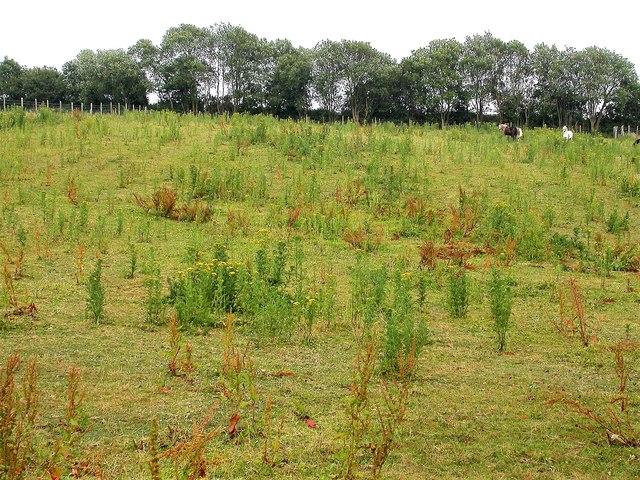 Overgrazed field with horses and ragwort, Whatlington