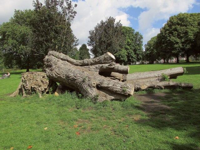 Felled tree. St Andrew's Park, Bristol