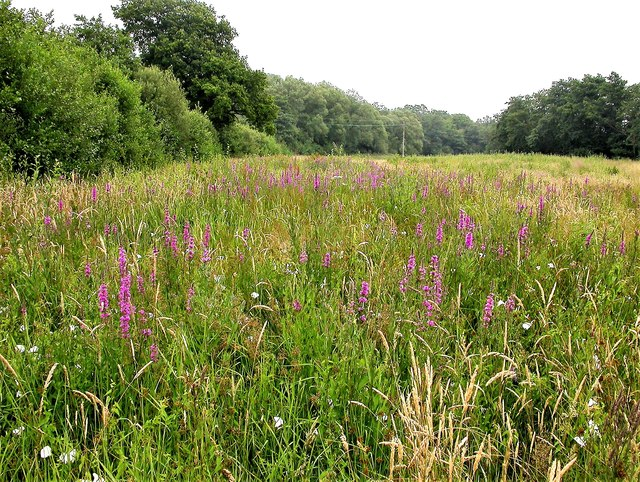 Purple loosestrife in Line valley meadow, Whatlington