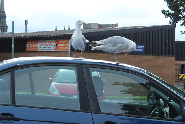 Gulls in Car Park, Ayr