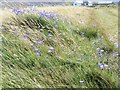 C3248 : Harebells by the sea by Michael Dibb