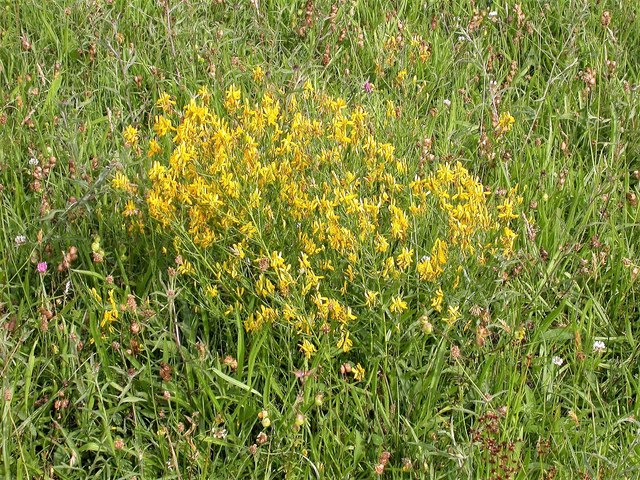 Dyer's greenweed in Marline Meadows