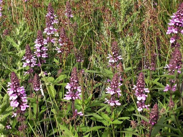 Marsh woundwort in Marline Meadows