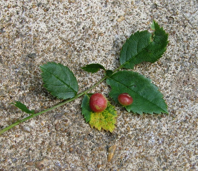 Dog rose Pea gall