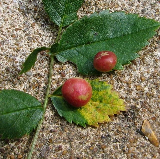 Dog rose Pea gall
