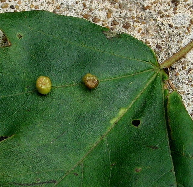 Field maple gall