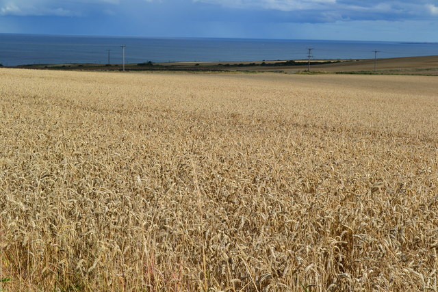 View over crop field to the sea