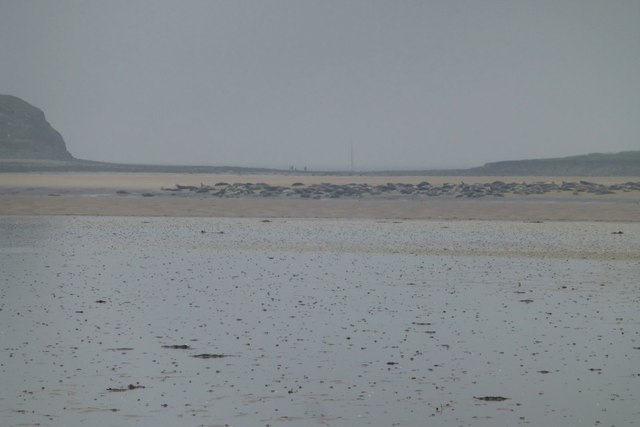 Seals on Holy Island Sands