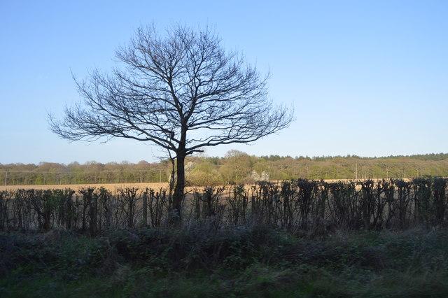 Tree by Ashford Rd