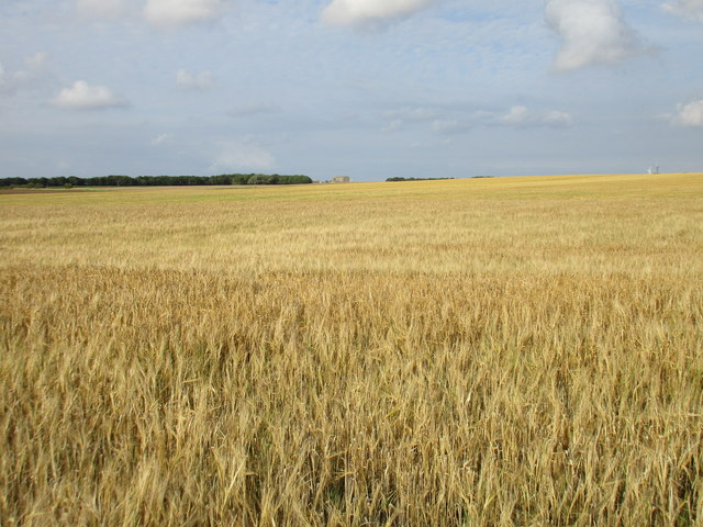 Uncut barley