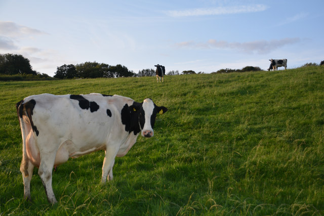 West Dorset : Grassy Field & Cattle