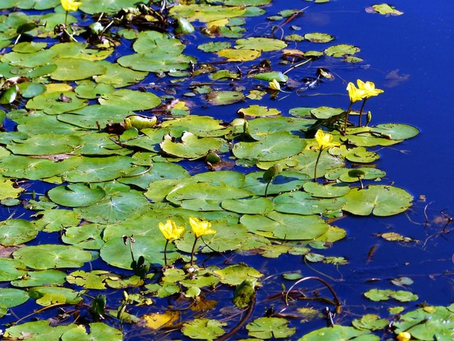 Wild water lily. Leeds Liverpool canal