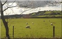 SX5857 : Sheep grazing by N Chadwick
