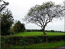 H5173 : Tree, Killycurragh by Kenneth  Allen