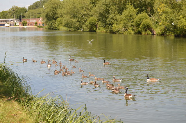 Geese on the River Thames