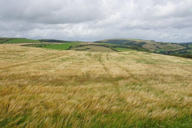 Barley field above Bwlch Farm