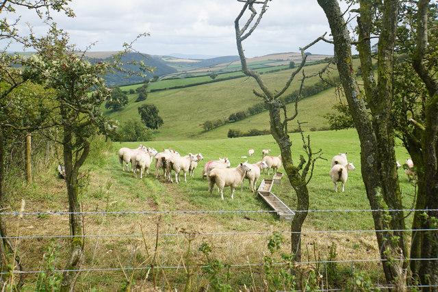 Sheep on Cwm-sanaham Hill