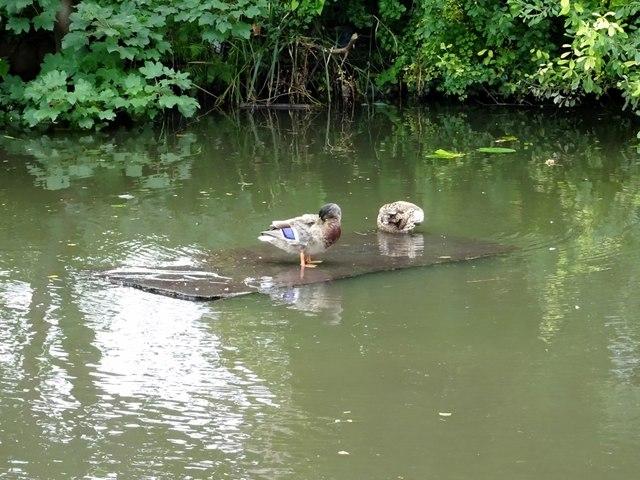 Duck board?