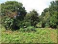 TM4169 : Cleared Bracken on Darsham Common - Darsham Marshes Nature Reserve by Roger Jones