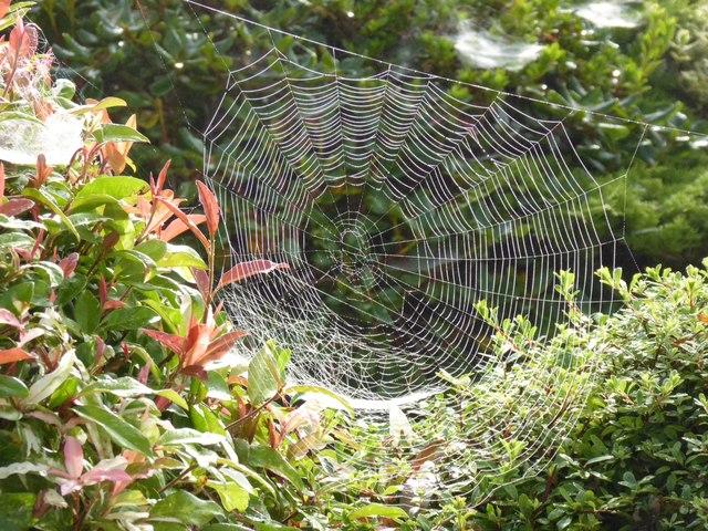 Spider's web, Campsie