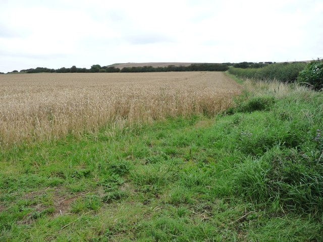 Unharvested wheat field, north of Brotton