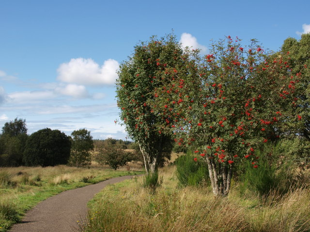 Rowan trees next a Mugdock path