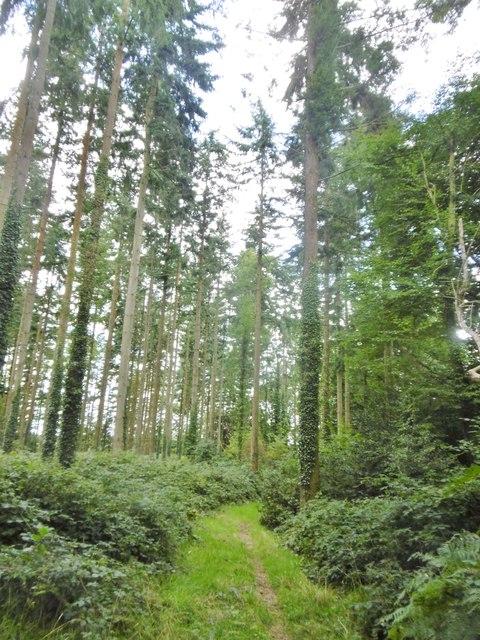Cranborne, conifers