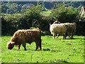 SJ9650 : Highland cattle at Wetley Rocks by Ian Calderwood