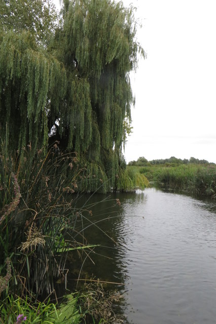 Willow on the Great Ouse
