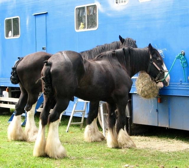 Harvey's Shire horses having breakfast