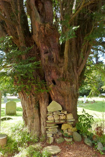 Ancient Yew Tree, St. Peter's church, North Hayling