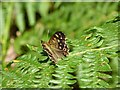SO6921 : Speckled Wood butterfly by Philip Halling