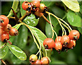 J4582 : Red berries,Helen's Bay (September 2017) by Albert Bridge