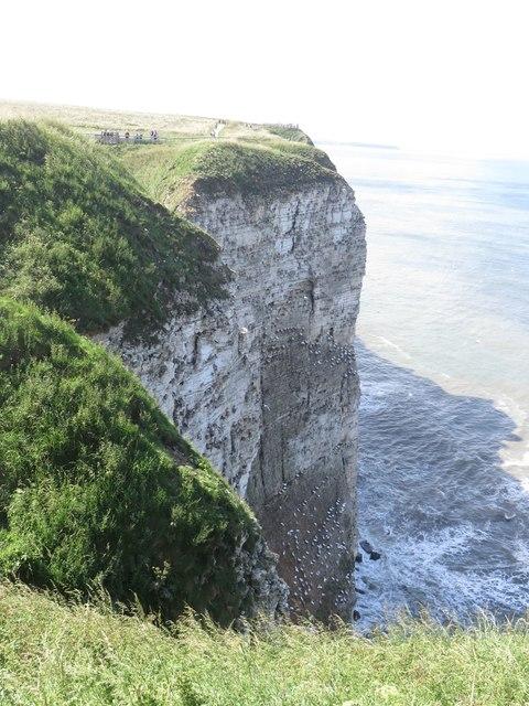 Nesting seabirds at Bempton Cliffs