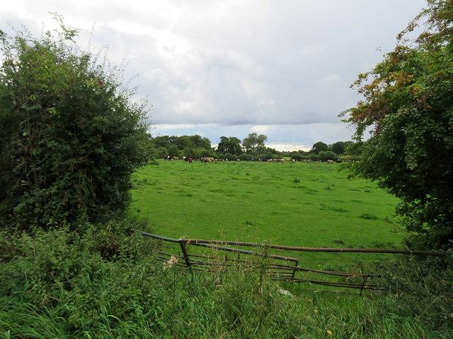 Cattle at Babbington