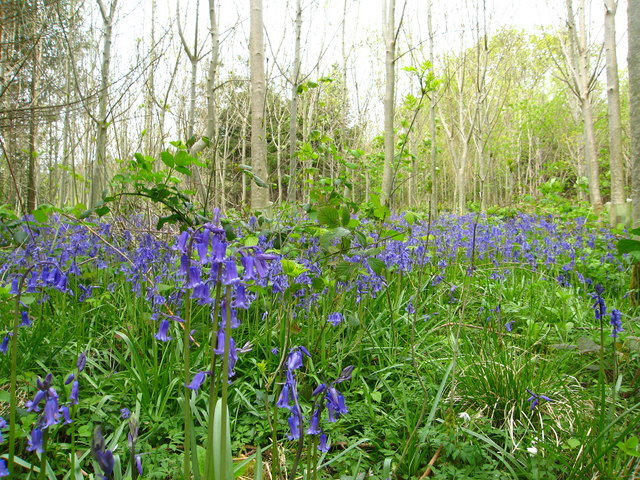 Bluebells in Whitford Wood