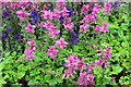 SN4860 : Clary sage (Salvia sclarea) by Richard Hoare