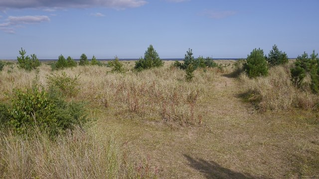 Self seeded pines, Tentsmuir Sands