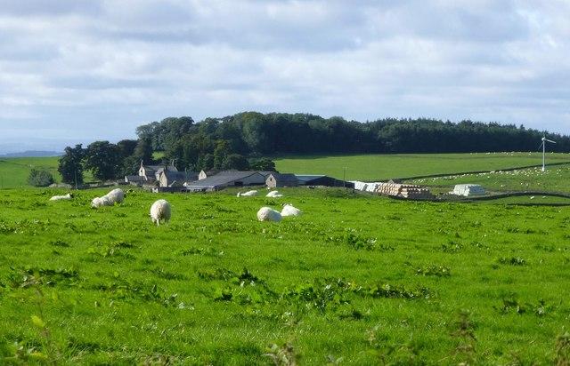 Sheep in pasture at Hawick Farm